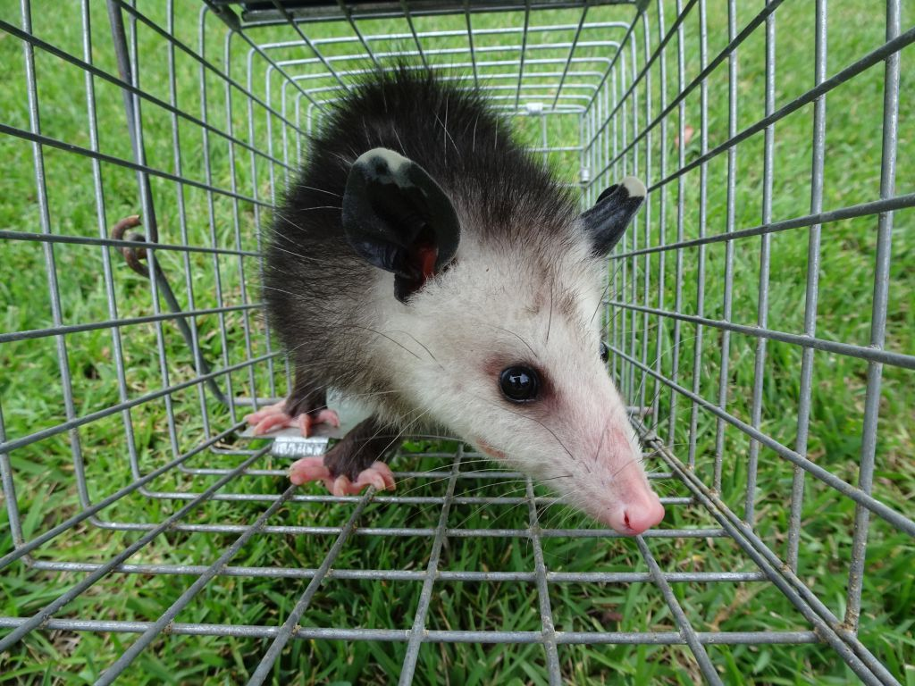 opossum prevention