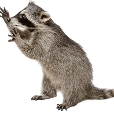 Raccoon Removal - Raccoon