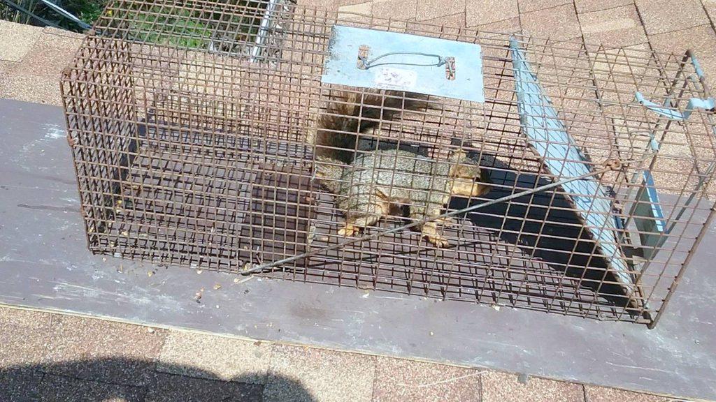 squirrel pest control