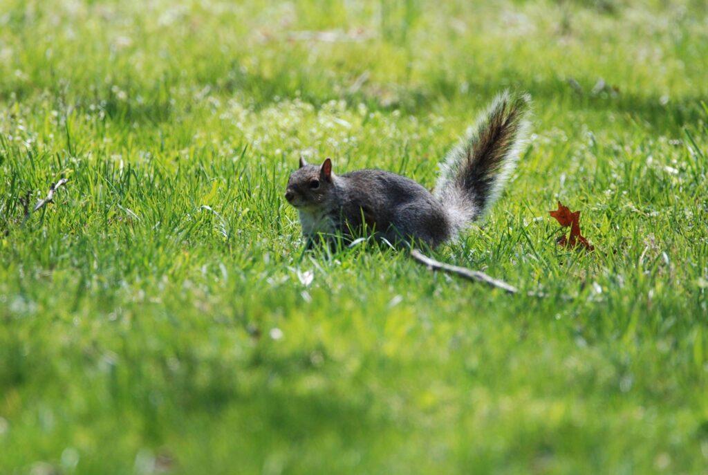 squirrel trapper