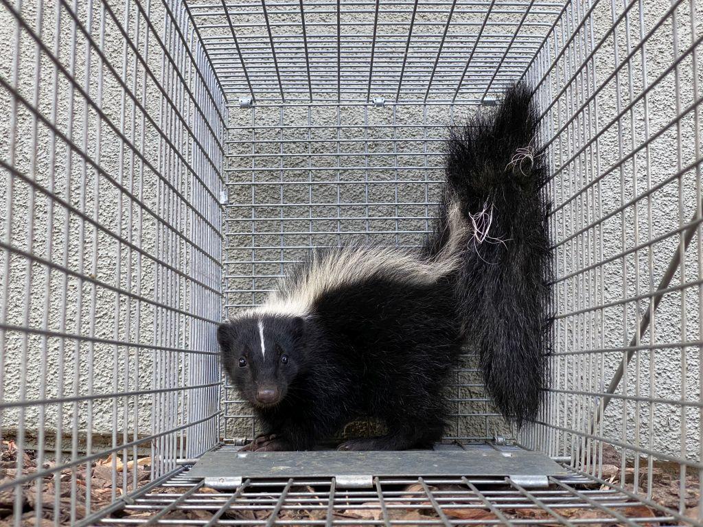 skunk prevention