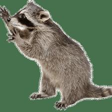 Raccoon Removal - Raccoon