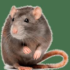Rat Removal - Rat