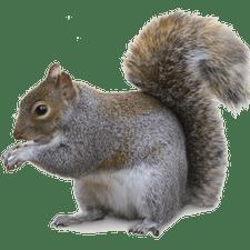 Squirrel Removal - Squirrels