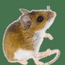 mice - Mice