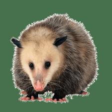 opossums - Opossum