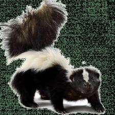 skunks - Skunk